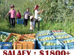 Fruit Farm Jobs in Canada